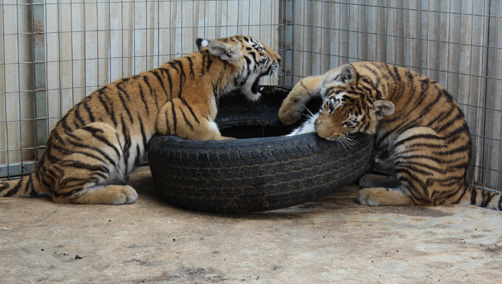 Offer of Siberian tiger (Panthera tigris altaica).