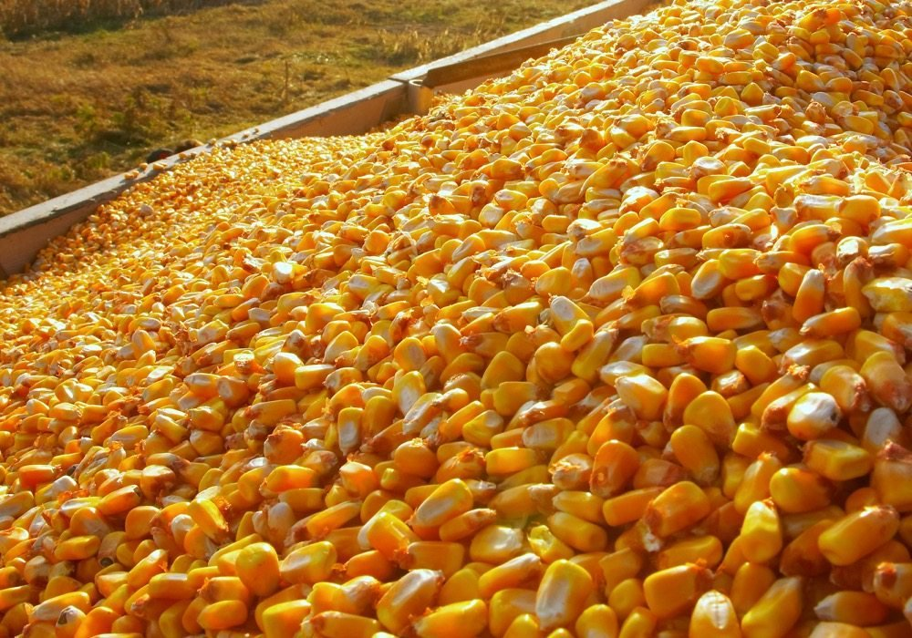 Offer of Yellow Corn from Brazil - Fresh Crop